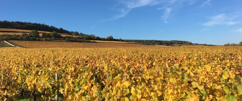 Autumn Gold in Chassagne